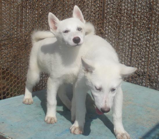 Продаются щенки западно-сибирской лайки.  Звоните 8-913-745-66-17...